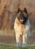 Akita Inu in the morning light Royalty Free Stock Photography