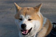 Akita Inu-Porträt Lizenzfreie Stockfotos