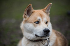 Akita Inu portrait Royalty Free Stock Image