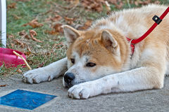 Akita Inu portrait Royalty Free Stock Images