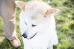 Akita Inu Portrait. Akita Inu portait of a dog waiting to enter a competition Royalty Free Stock Images