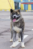 Akita Inu portrait Royalty Free Stock Photo