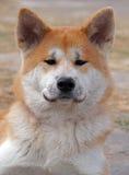 Akita-inu. Portrait of young dog of breed akita-inu stock photos