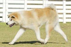 Akita Inu Royalty Free Stock Images