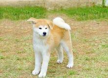 Akita Inu Stock Images