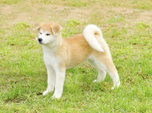 Akita Inu. A profile view of a young beautiful white and red Akita Inu puppy dog standing on the lawn. Japanese Akita dogs are distinctive for their oriental Stock Images