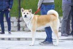 Akita inu psa pozycja Zdjęcie Royalty Free