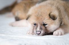 Akita inu puppies. At home Royalty Free Stock Photo