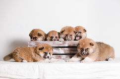 Akita inu puppies. At home Royalty Free Stock Photos