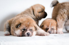 Akita inu puppies. At home Royalty Free Stock Images
