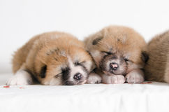 Akita inu puppies. At home Royalty Free Stock Photography