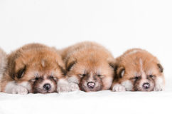 Akita inu puppies. At home Stock Photography