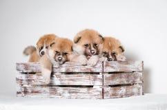 Akita inu puppies. At home Royalty Free Stock Photo