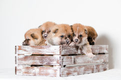 Akita inu puppies. At home Stock Image