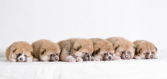Akita inu puppies. At home Royalty Free Stock Image