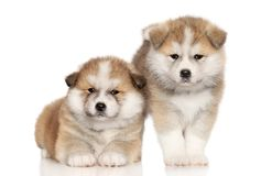 Akita Inu Puppies over white background royalty free stock image