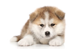 Akita inu puppy. Akita-inu puppy lies over white background Stock Image