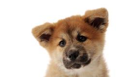 Akita Inu Puppy Stock Image