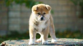 Akita Inu puppy. Closeup. dog sadness stock photos