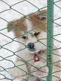 Akita Inu puppy dog. A Akita Inu puppy dong in snow Stock Images