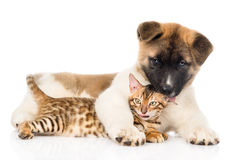 Akita inu puppy dog with bengal cat together.  on white.  Royalty Free Stock Photos