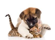 Akita inu puppy dog hugs bengal kitten on white background Royalty Free Stock Photos
