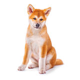 Akita Inu puppy dog isolated on white Stock Photos