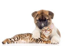 Akita inu puppy dog lying with bengal kitten. isolated on white Royalty Free Stock Photography