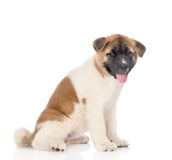 Akita inu puppy dog sitting in profile and looking at camera. isolated Stock Images