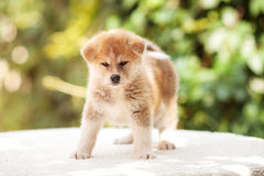 Akita inu puppy. Horizontal portrait of one tiny puppy dog of akita inu breed with red fluffy hair standing outdoors on white and green background on summer stock photography
