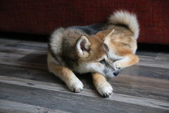 Akita inu puppy Royalty Free Stock Images