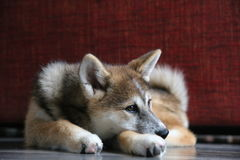 Akita inu puppy Royalty Free Stock Photo