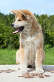 Akita inu puppy posing outdoor Stock Images