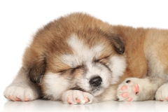 Akita inu puppy sleep. On a white background Royalty Free Stock Images