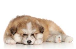 Akita-inu puppy sleep. Japanese Akita-inu puppy sleep on a white background Stock Photos