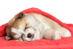 Akita-inu puppy sleep, covered with a blanket. Japanese Akita-inu puppy sleep, covered with a blanket Stock Images