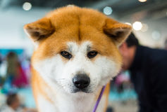 Akita Inu purebred puppy dog Royalty Free Stock Images