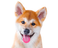 Free Akita Inu Purebred Puppy Dog. Shiba Inu Stock Photography - 77423272