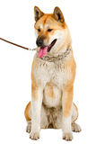 Akita Inu Royalty Free Stock Photography