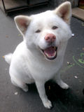 Akita Inu Smiling branca Fotos de Stock Royalty Free