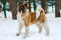 Akita Inu in snow. Akita Inu walks in the snow park royalty free stock photo