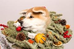 Akita Inu valp i en julkrans royaltyfri foto