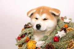 Akita Inu-Welpe in einem Weihnachtskranz lizenzfreie stockbilder