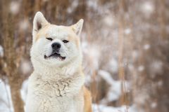 Akita Inu Winter Background Photo libre de droits