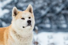 Akita Inu Winter Background Photo stock