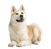 Akita Inu, 2 years old, lying and panting Royalty Free Stock Photo