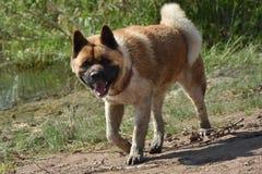Akita Inu-Zuchthund Lizenzfreie Stockfotografie