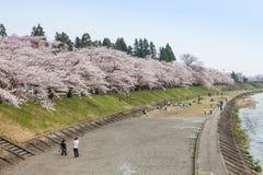 Akita, Japón - abril 27,2014: Sakura en la orilla de Kikonai foto de archivo