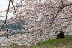 Akita, Japan - April 27.2014: Sakura in Kikonai-rivieroever Stock Foto's