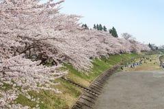 Akita, Japan - April 27.2014: Sakura in Kikonai-rivieroever Stock Afbeeldingen